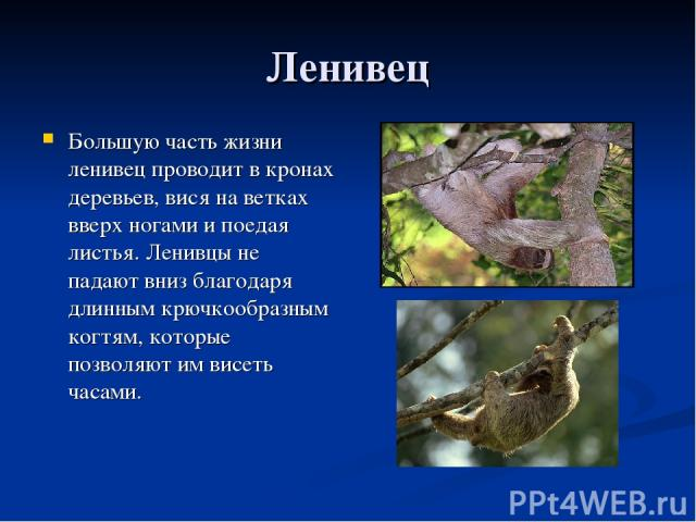 Ленивец Большую часть жизни ленивец проводит в кронах деревьев, вися на ветках вверх ногами и поедая листья. Ленивцы не падают вниз благодаря длинным крючкообразным когтям, которые позволяют им висеть часами.