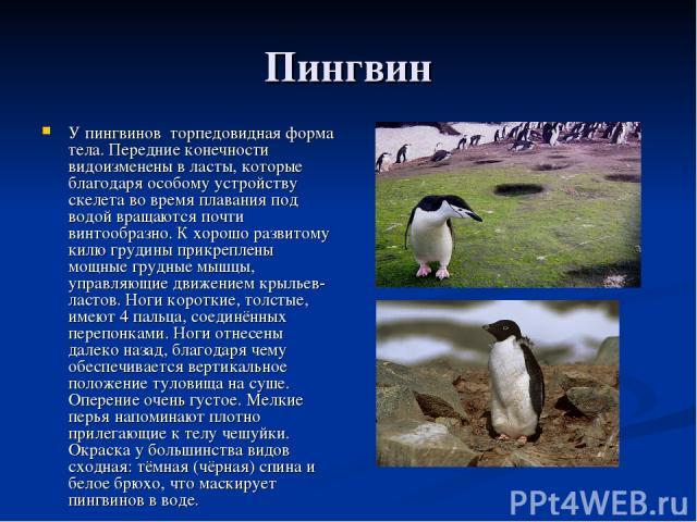 Пингвин У пингвинов торпедовидная форма тела. Передние конечности видоизменены в ласты, которые благодаря особому устройству скелета во время плавания под водой вращаются почти винтообразно. К хорошо развитому килю грудины прикреплены мощные грудные…