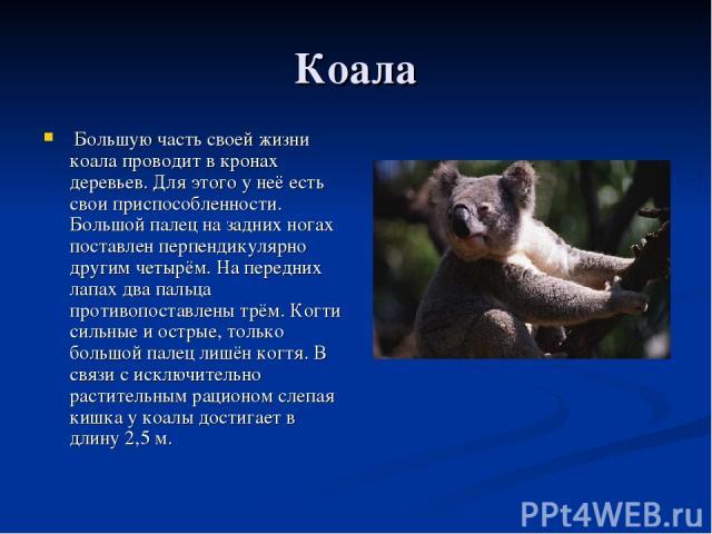 Коала Большую часть своей жизни коала проводит в кронах деревьев. Для этого у неё есть свои приспособленности. Большой палец на задних ногах поставлен перпендикулярно другим четырём. На передних лапах два пальца противопоставлены трём. Когти сильные…