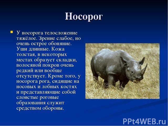 Носорог У носорога телосложение тяжёлое. Зрение слабое, но очень острое обоняние. Уши длинные. Кожа толстая, в некоторых местах образует складки, волосяной покров очень редкий или вообще отсутствует. Кроме того, у носорога рога, сидящие на носовых и…