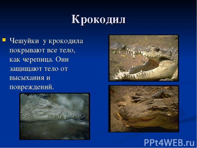 Крокодил Чешуйки у крокодила покрывают все тело, как черепица. Они защищают тело от высыхания и повреждений.