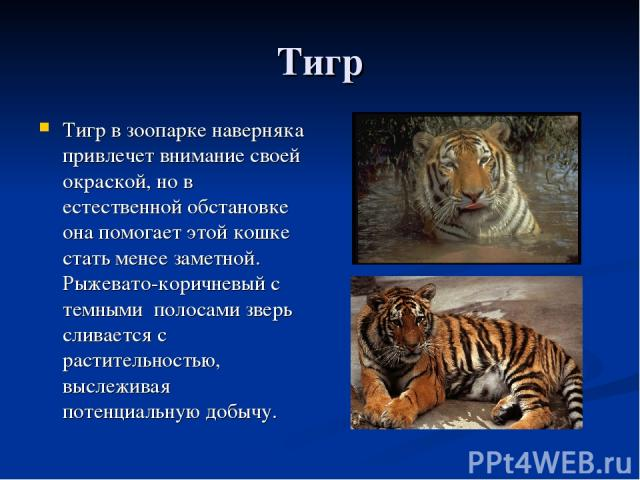 Тигр Тигр в зоопарке наверняка привлечет внимание своей окраской, но в естественной обстановке она помогает этой кошке стать менее заметной. Рыжевато-коричневый с темными полосами зверь сливается с растительностью, выслеживая потенциальную добычу.