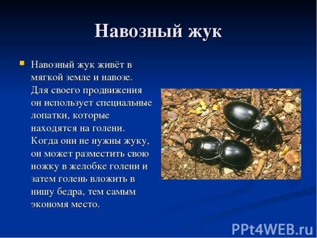 Навозный жук Навозный жук живёт в мягкой земле и навозе. Для своего продвижения он использует специальные лопатки, которые находятся на голени. Когда они не нужны жуку, он может разместить свою ножку в желобке голени и затем голень вложить в нишу бе…