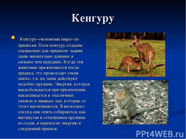 Кенгуру Кенгуру-«чемпионы мира» по прыжкам. Ноги кенгуру созданы специально для прыжков: задние лапы значительно длиннее и сильнее чем передние. Когда эти животные приземляются после прыжка, это происходит очень мягко, т.к. их лапы действуют подобно…