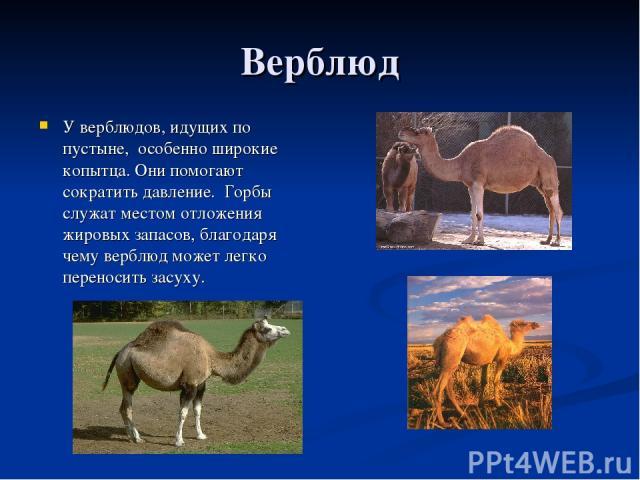 Верблюд У верблюдов, идущих по пустыне, особенно широкие копытца. Они помогают сократить давление. Горбы служат местом отложения жировых запасов, благодаря чему верблюд может легко переносить засуху.
