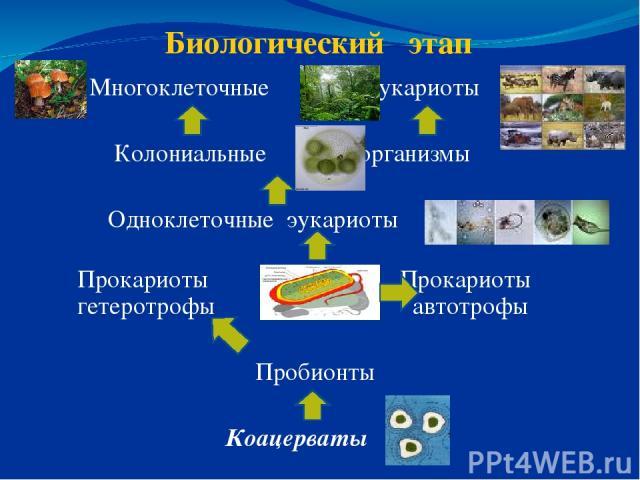 Биологический этап Многоклеточные эукариоты Колониальные организмы Одноклеточные эукариоты Прокариоты Прокариоты гетеротрофы автотрофы Пробионты Коацерваты