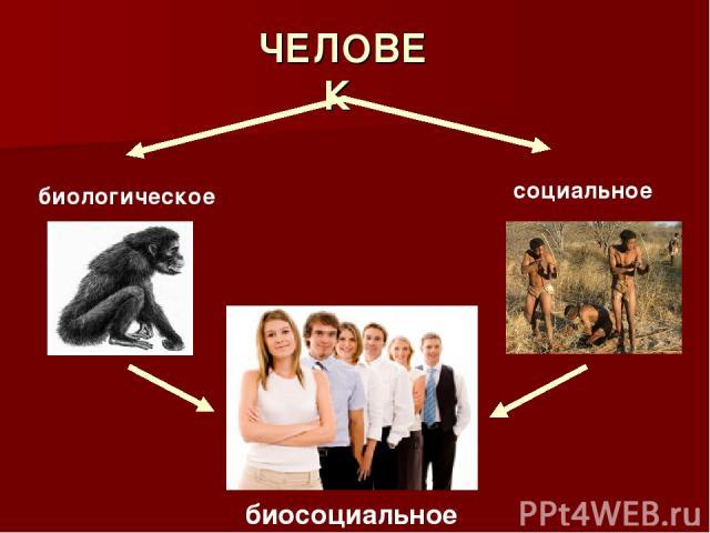 ЧЕЛОВЕК биологическое социальное биосоциальное