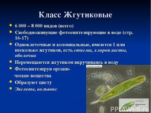 Класс Жгутиковые 6 000 – 8 000 видов (всего) Свободноживущие фотосинтезирующие в