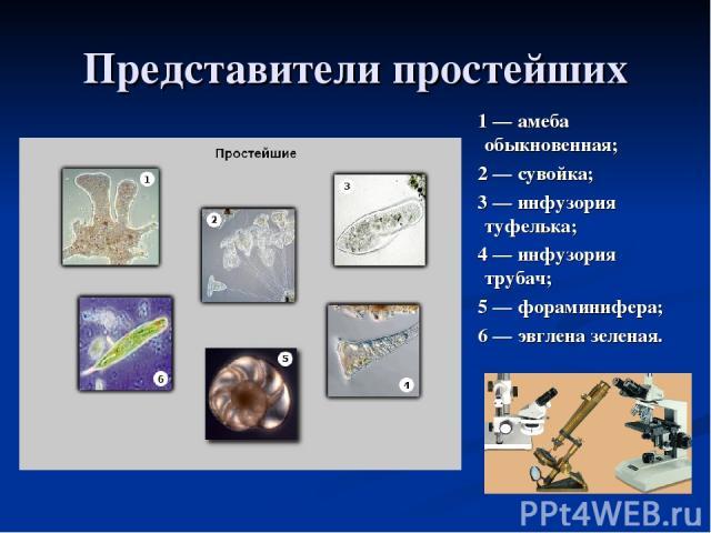 Представители простейших 1 — амеба обыкновенная; 2 — сувойка; 3 — инфузория туфелька; 4 — инфузория трубач; 5 — фораминифера; 6 — эвглена зеленая.