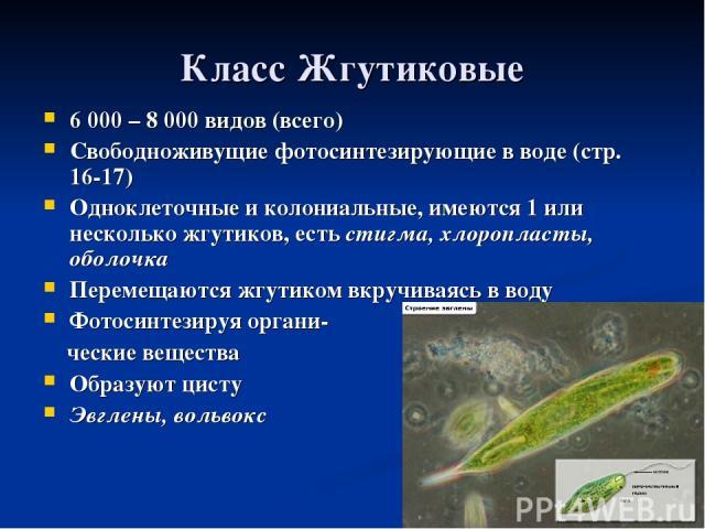 Класс Жгутиковые 6 000 – 8 000 видов (всего) Свободноживущие фотосинтезирующие в воде (стр. 16-17) Одноклеточные и колониальные, имеются 1 или несколько жгутиков, есть стигма, хлоропласты, оболочка Перемещаются жгутиком вкручиваясь в воду Фотосинтез…