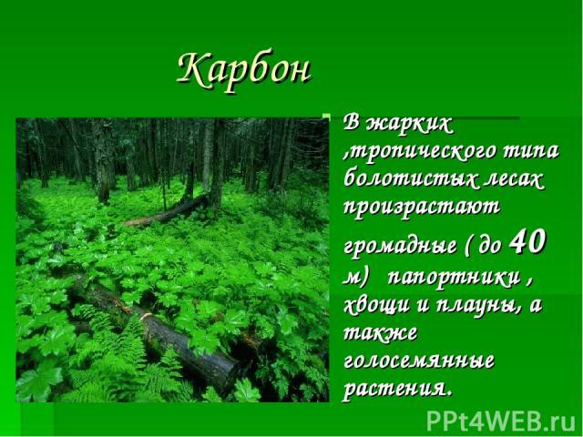 Карбон В жарких ,тропического типа болотистых лесах произрастают громадные ( до 40 м) папортники , хвощи и плауны, а также голосемянные растения.