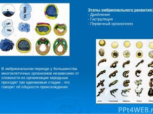 Этапы эмбрионального развития: Дробление - Гаструляция - Первичный органогенез В