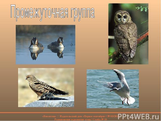 «Биология» | Издательский дом «Первое сентября» | № 03/2012 Размножение и развитие птиц | Слайд № 10
