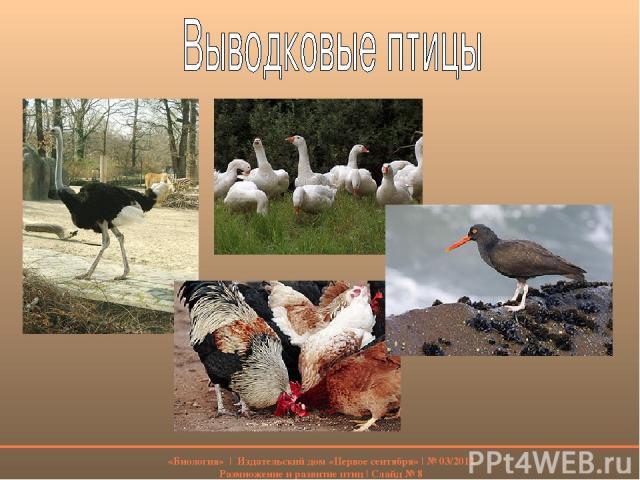 «Биология» | Издательский дом «Первое сентября» | № 03/2012 Размножение и развитие птиц | Слайд № 8