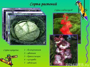 Сорта растений Сорта капусты: 1 – белокочанная 2 – цветная 3 – брюссельская 4 –