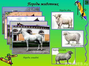 Породы животных Породы лошадей Породы овец Цигейская Асканийская Каракульская Ар
