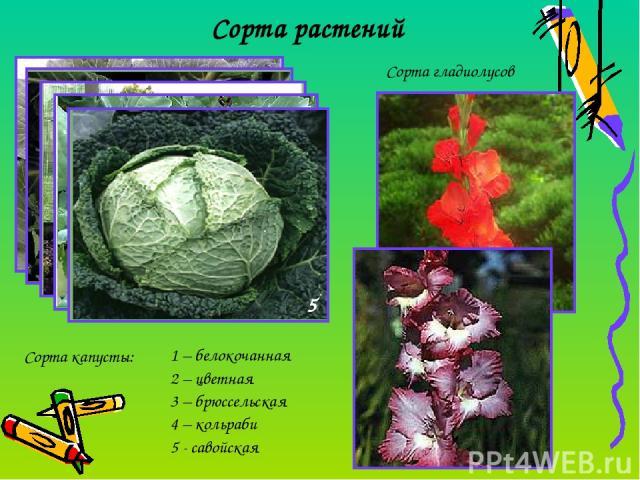 Сорта растений Сорта капусты: 1 – белокочанная 2 – цветная 3 – брюссельская 4 – кольраби 5 - савойская Сорта гладиолусов 1 2 3 4 5
