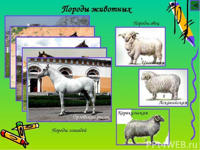 Породы животных Породы лошадей Породы овец Цигейская Асканийская Каракульская Арабская Арабская Ахалтекинская Владимирский тяжеловоз Орловский рысак