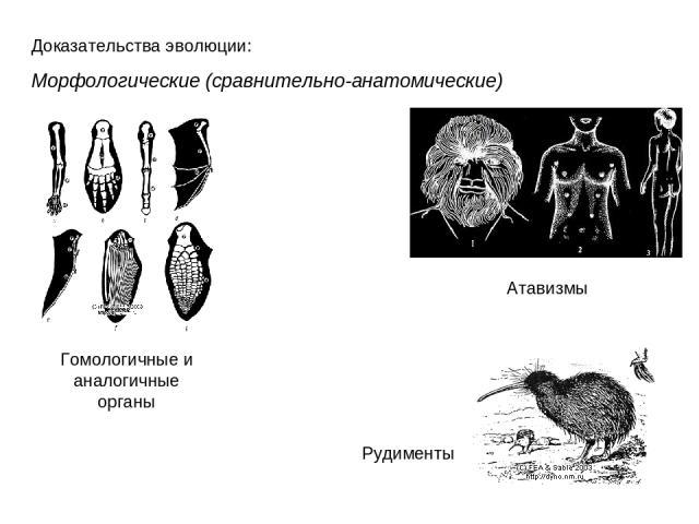 Доказательства эволюции: Морфологические (сравнительно-анатомические) Гомологичные и аналогичные органы Атавизмы Рудименты