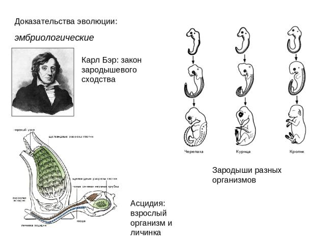 Доказательства эволюции: эмбриологические Карл Бэр: закон зародышевого сходства Асцидия: взрослый организм и личинка Зародыши разных организмов