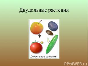 Двудольные растения