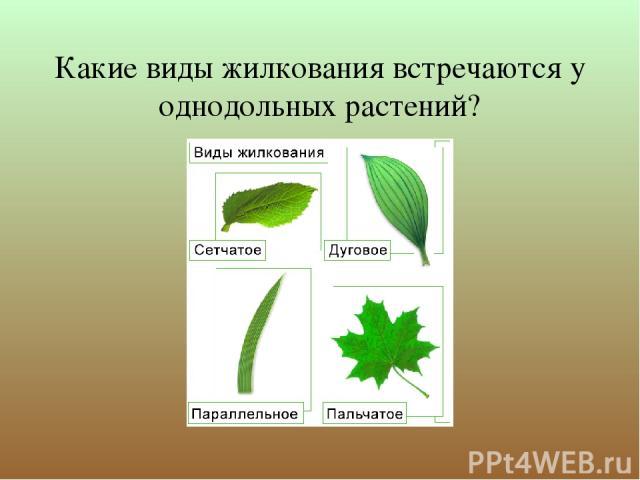 Какие виды жилкования встречаются у однодольных растений?