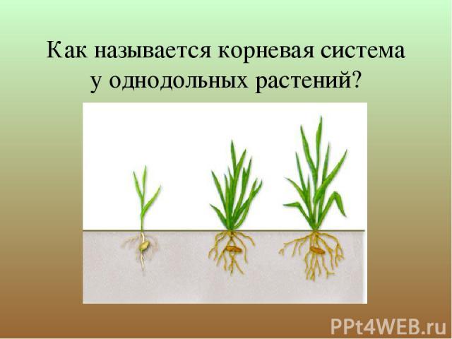 Как называется корневая система у однодольных растений?