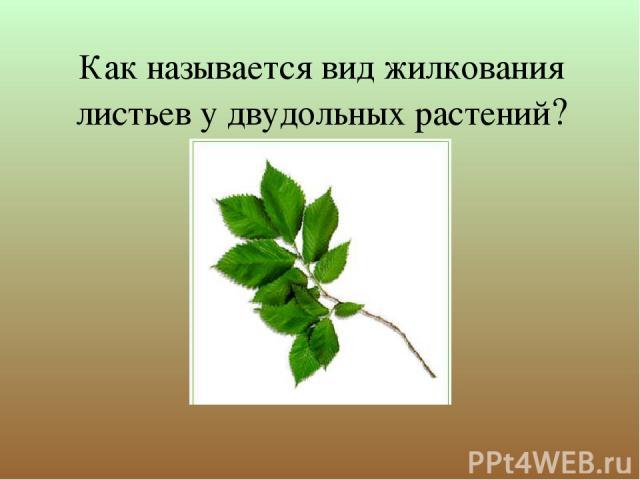 Как называется вид жилкования листьев у двудольных растений?