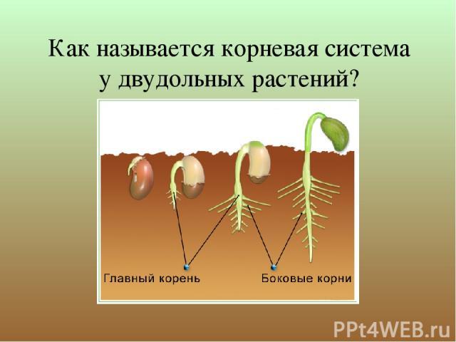 Как называется корневая система у двудольных растений?