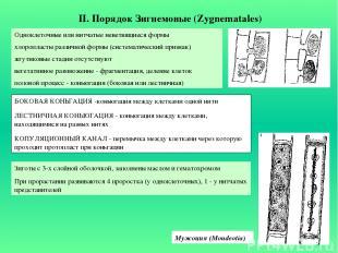 II. Порядок Зигнемовые (Zygnematales) Одноклеточные или нитчатые неветвящиеся фо
