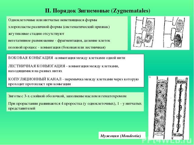 II. Порядок Зигнемовые (Zygnematales) Одноклеточные или нитчатые неветвящиеся формы хлоропласты различной формы (систематический признак) жгутиковые стадии отсутствуют вегетативное размножение - фрагментация, деление клеток половой процесс - коньюга…