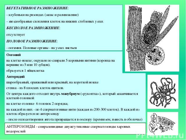 ВЕГЕТАТИВНОЕ РАЗМНОЖЕНИЕ: - клубеньки на ризоидах (запас и размножение) - звездообразные скопления клеток на нижних стеблевых узлах БЕСПОЛОЕ РАЗМНОЖЕНИЕ: отсутствует ПОЛОВОЕ РАЗМНОЖЕНИЕ: - оогамия. Половые органы - на узлах листьев Оогоний на клетке…
