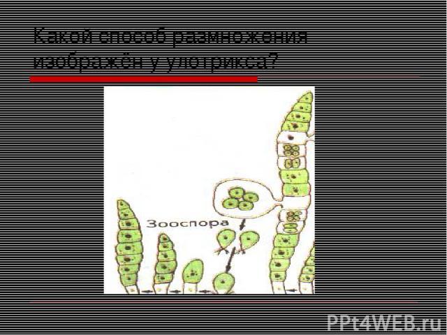 Какой способ размножения изображён у улотрикса?