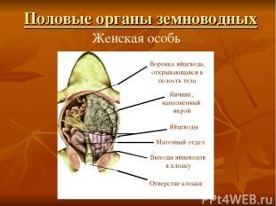 Женская особь Воронка яйцевода, открывающаяся в полость тела Яичник, наполненный
