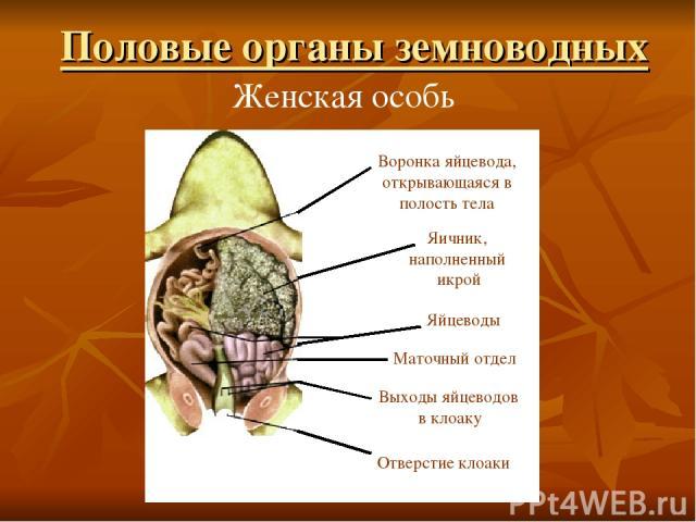 Женская особь Воронка яйцевода, открывающаяся в полость тела Яичник, наполненный икрой Яйцеводы Маточный отдел Выходы яйцеводов в клоаку Отверстие клоаки Половые органы земноводных