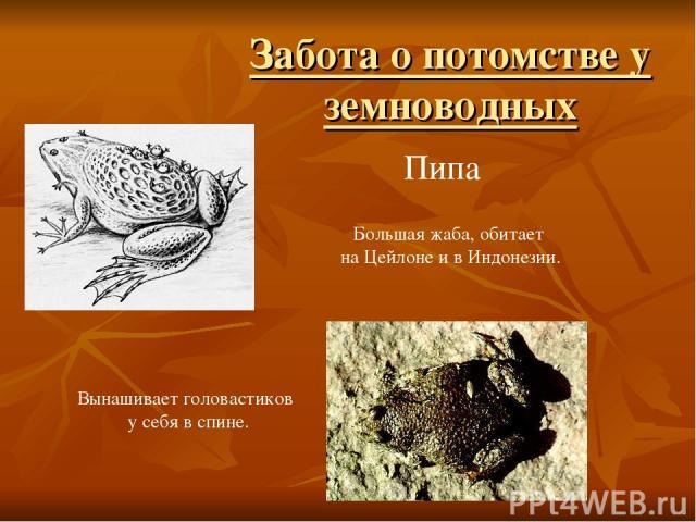 Забота о потомстве у земноводных Вынашивает головастиков у себя в спине. Пипа Большая жаба, обитает на Цейлоне и в Индонезии.