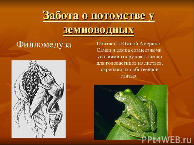 Филломедуза Обитает в Южной Америке. Самец и самка совместными усилиями сооружают гнездо для головастиков из листьев, скрепляя их собственной слизью. Забота о потомстве у земноводных