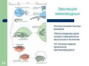 * Эволюция земноводных Ихтиостегалии быстро вымерли Лепоспондилии дали начало со