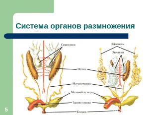 * Система органов размножения