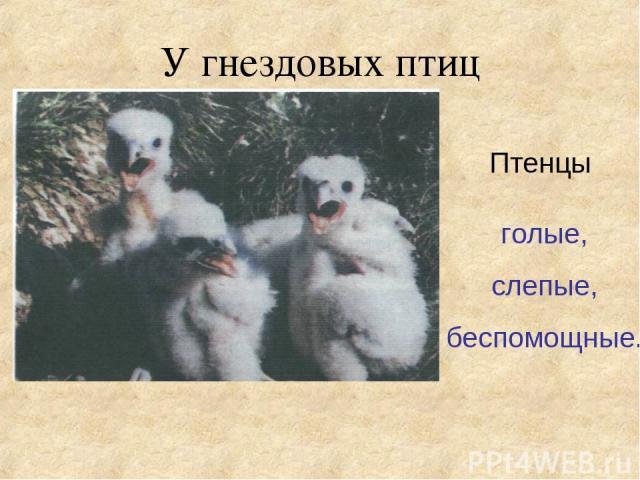 У гнездовых птиц Птенцы голые, слепые, беспомощные.