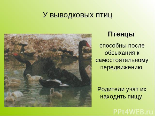 У выводковых птиц Птенцы способны после обсыхания к самостоятельному передвижению. Родители учат их находить пищу.