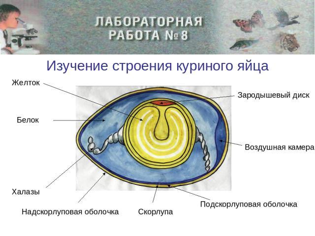 Изучение строения куриного яйца Желток Белок Халазы Скорлупа Подскорлуповая оболочка Надскорлуповая оболочка Зародышевый диск Воздушная камера
