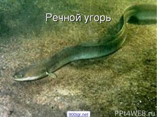 Речной угорь 900igr.net
