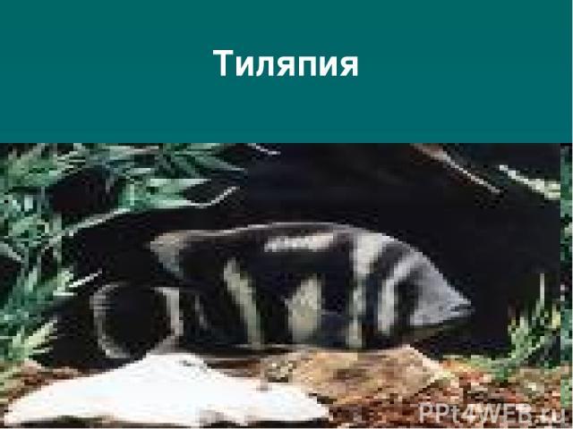 Тиляпия