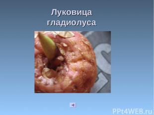 Луковица гладиолуса