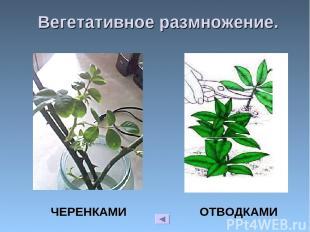 Вегетативное размножение. ЧЕРЕНКАМИ ОТВОДКАМИ