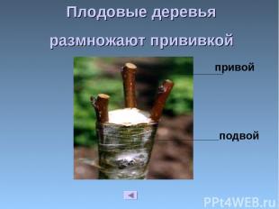 Плодовые деревья размножают прививкой привой подвой