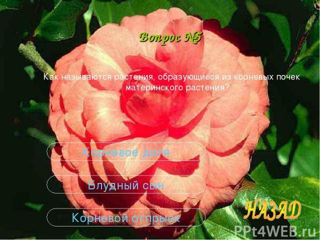 Вопрос №5 Как называются растения, образующиеся из корневых почек материнского растения? Корневой отпрыск Блудный сын Корневое дитя