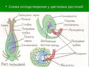 Схема оплодотворения у цветковых растений