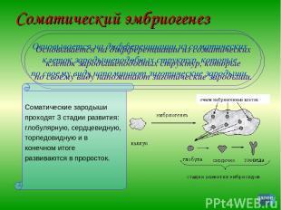 Соматический эмбриогенез Основывается на дифференциации из соматических клеток з